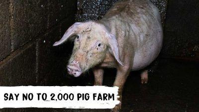Starving pig looks at camera