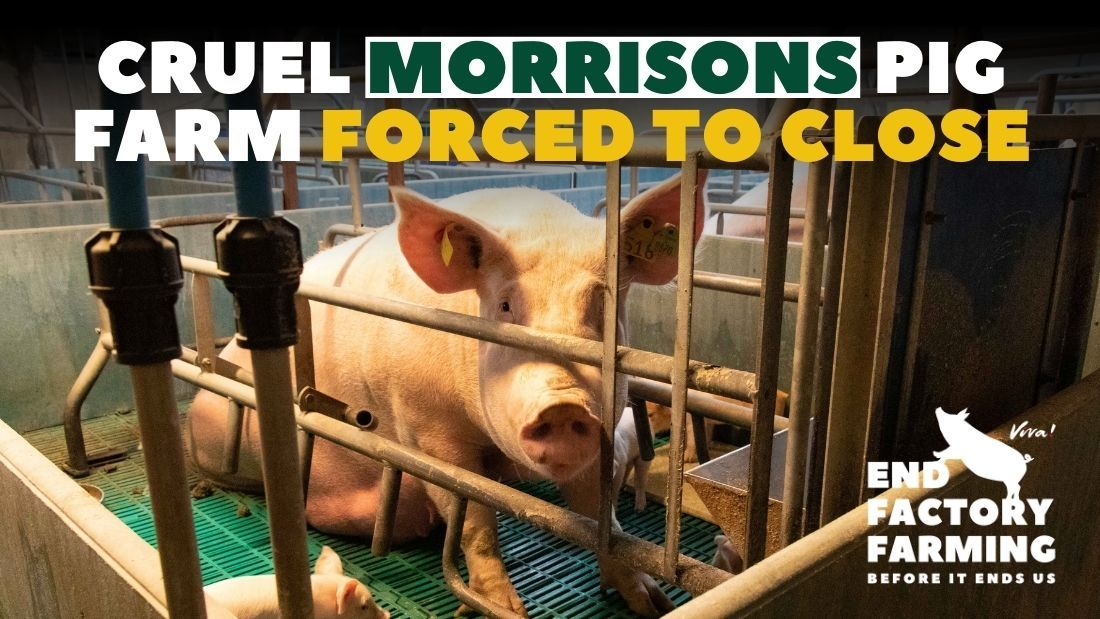 Nursing sow confined to barbaric farrowing crate