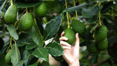 avocado picking